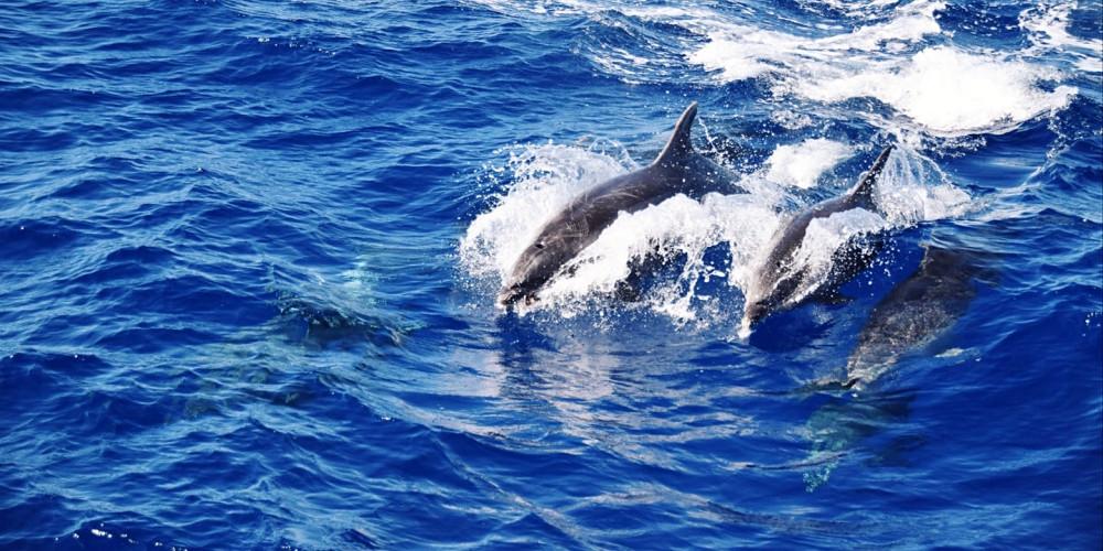 Verspielte Delfine auf den Azoren