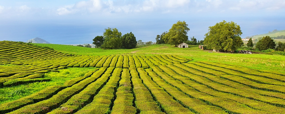 Europas größte Teeplantage: Cha Gorreana