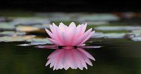lotus-flower-picture.jpg