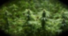 High-Quality-Cannabis.jpg