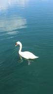 London Swan