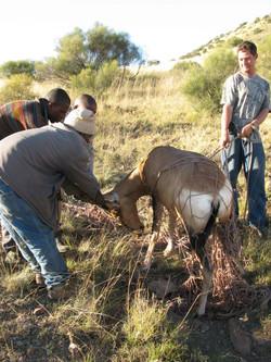 Red Hartebeest Capture