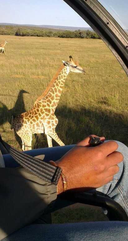 Giraffe Capture