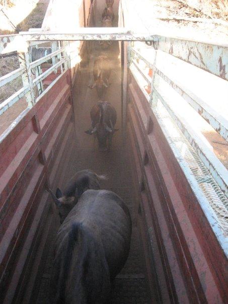 Lou Wildebeest Capture