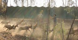 Blesbok Capture
