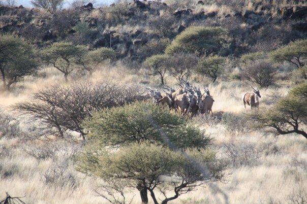 Eland Capture