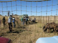 Black Wildebeest Capture
