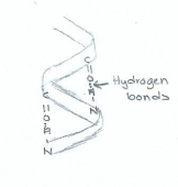 Alpha Helix (Very) Rough Sketch