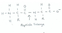 Primary structure with peptide bond/linkage