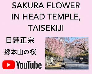 Sakura Youtube.png