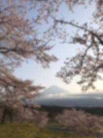 sakura mt fuji2.jpg