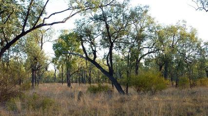 Ironbark Forest.jpg