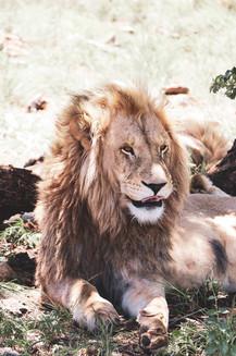 lion.jpeg