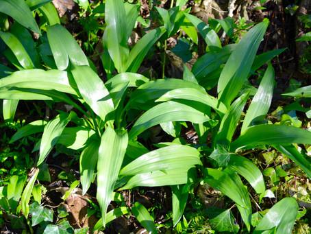 Wild Garlic & Walnut Pistou or Pesto