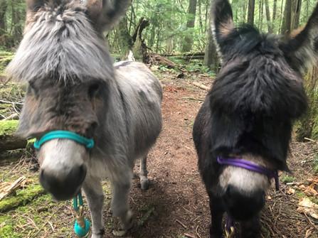 donkeys in halters.jpg