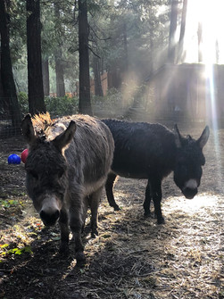 donkeys in mist.jpg