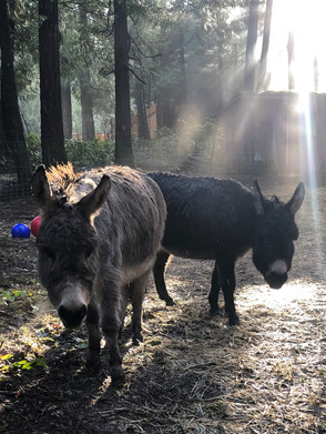 donkeys in mist.jpg