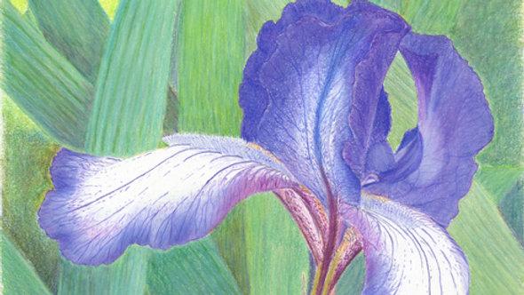 """Majestic Iris"""