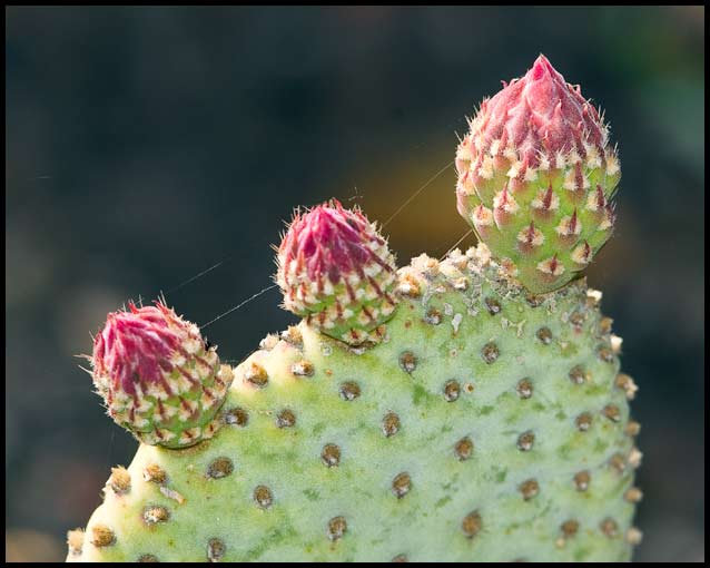 Prickly Pear with Buds