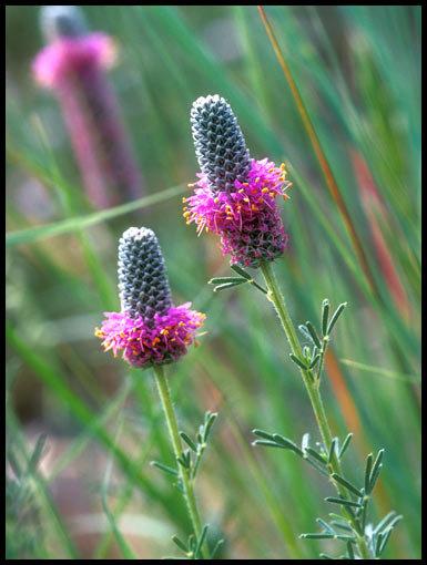 Purple Prairie Clovers