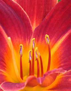 Stein FP_Red_Day_Lily