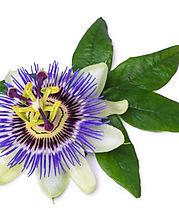 Passion Flower.jpeg