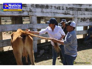 Edil inicia campaña masiva de vacunación de ganado en el municipio de Coeneo