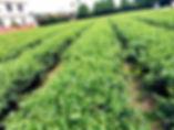 自然農法茶園田舍.jpg