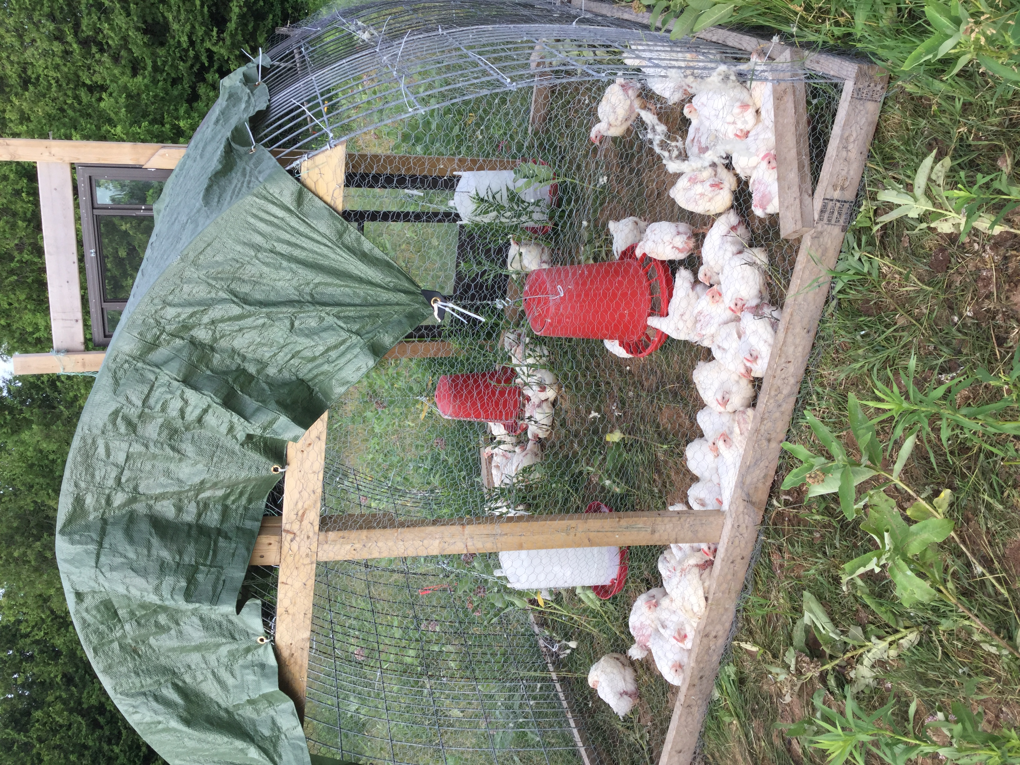 White Rocks/ Chicken Tractor