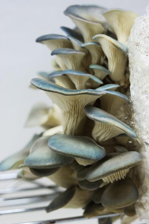 1/2 lb Gray Dove Oyster Mushroom