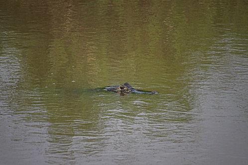Yacare caiman in the water