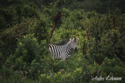 Safári - África