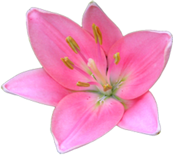 Pretty%20Pink%20Lily%20_edited.png