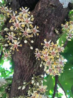 Fleurs de cacaoyer.JPG.jpg