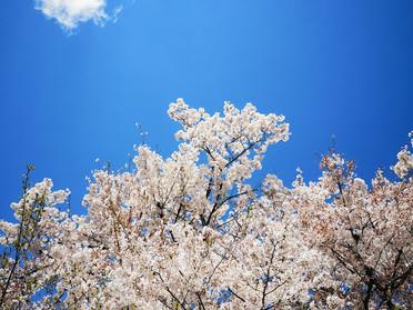 【桜の下】