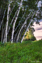 birch trees outside two harbors
