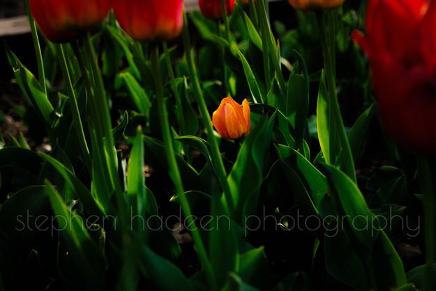tulip on st. anthony main street