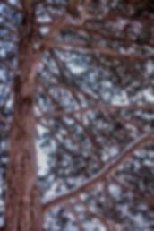 pine in yard-1.jpg