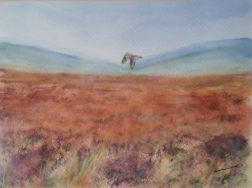 Short eared owl over moorland