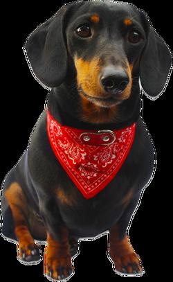 Dog Bandana 2