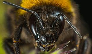 macro-insect-bumblebee-portrait-bee-hone