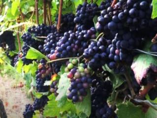 Laborers in the Vineyard: Matthew 20