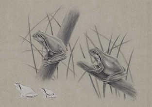 Hyla arborea vs. Hyla meridionalis