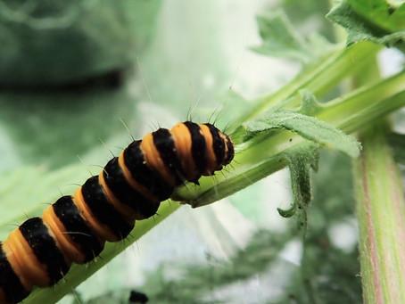 Cinnabar moth caterpillars pupate.