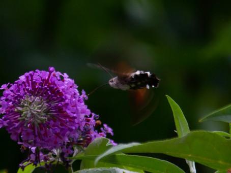 First Hummingbird moth