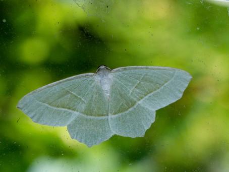 A very busy moth trap.