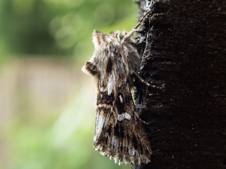 Moth trapping in May.