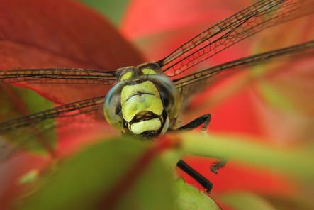 dragonfly end of summer.jpg