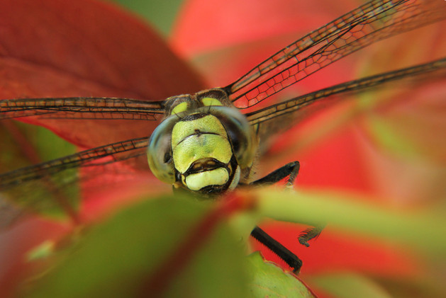 dragonfly end of summer.jpg