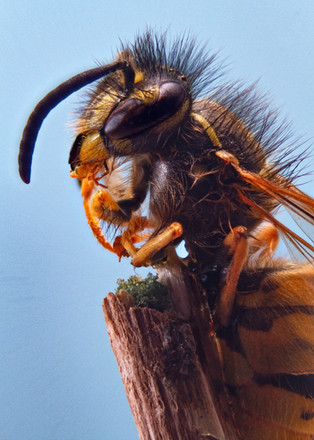 Wasp_macro.jpg